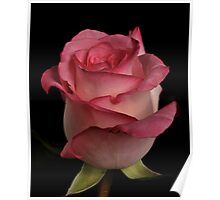 Rose in pink tone Poster