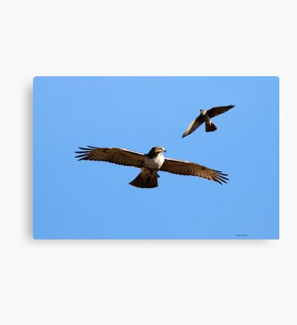 Kestrel and Hawk Canvas Print
