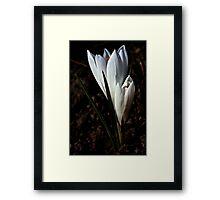 Pure,white crocus in spring. Framed Print