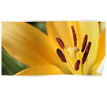 Day Lily Brilliance Poster