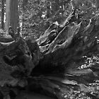 Fallen Tree by Socrates & Angela Hernandez