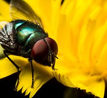 Fly on a flower by Kerrod Sulter