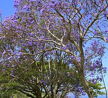 Jacaranda Tree Full Bloom by reneecettie
