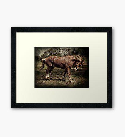 Junior.....Belgian Clydesdale  Framed Print