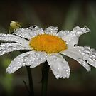 Daisy with dew drops by Trevor Farrell