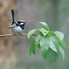 Male Superb Fairy Wren on a Peach Branch by Trevor Farrell