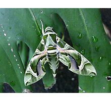 Oleander Hawk Moth Photographic Print