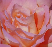 Beautiful Pink Rose by reneecettie