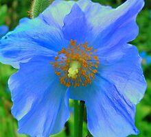 Single Himalayan Blue Poppy  by reneecettie