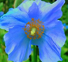 Single Himalayan Blue Poppy  by reneecettie