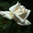 Small white rose Leith Park Victoria 201510300529 by Fred Mitchell