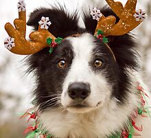 Reindeer Collie by ZebsterBC