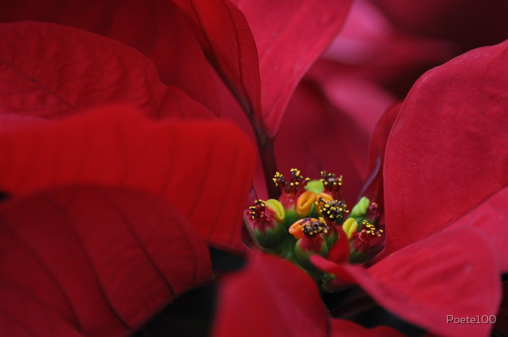 Christmas Red Poinsettia by Poete100