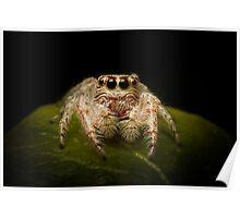 (Servaea vestita) Jumping Spider Poster