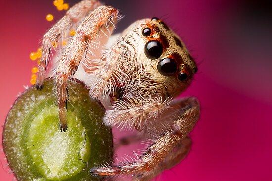 (Servaea vestita) Jumping Spider On Flower by Kerrod Sulter