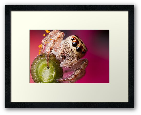 (Servaea vestita) Jumping Spider On Flower by Kerrod Sulter
