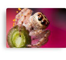 (Servaea vestita) Jumping Spider On Flower Canvas Print