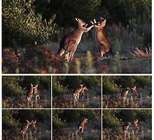 Grey Kangaroos boxing - Wilsons Promontory National Park, Victoria by Marty Samis