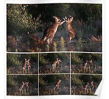 Grey Kangaroos boxing - Wilsons Promontory National Park, Victoria Poster