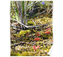 Healthland Carpet, Sundews and Mosses - Anglesea Poster
