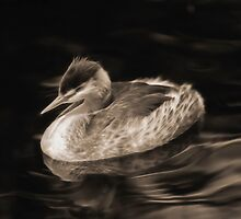 """""""Great Crested Grebe"""" by JanneO"""