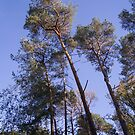 Pine trees on a blue sky by hpostant
