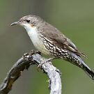 White Throated Treecreeper taken Crackenback by Alwyn Simple