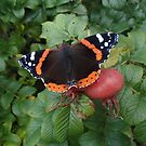 Red Admiral by Richard Ion
