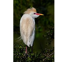 Cattle Egret profile Photographic Print