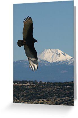 Turkey Vulture by Dave Davis