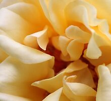 Yellow Rose4 by HilaryAnne