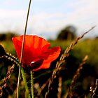 poppy in the evening sun by bundug