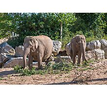 Pair of Asian Elephants eating Photographic Print