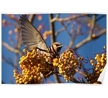 Waxwing Poster