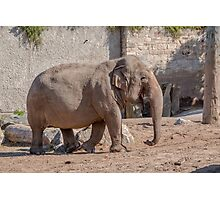 Young Asian Elephant Photographic Print