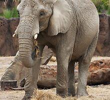 Female Elephant by StonePhotos