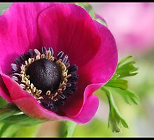 Poppy Anemone by Nameda