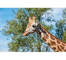 Close up photo of a Rothschild Giraffe head Photographic Print