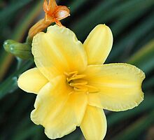 Yellow Lily in Late Summer by Docharmony