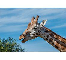 Rothschild Giraffe head open mouth Photographic Print