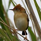 Golden-headed Cisticola by triciaoshea