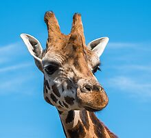 Close up photo of a Rothschild Giraffe head by Russell102