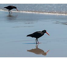 oystercatcher Photographic Print