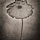 Gerbera by photosmoo
