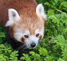 Red Panda close up of face by Russell102