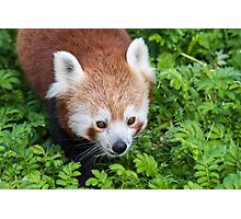 Red Panda close up of face Photographic Print
