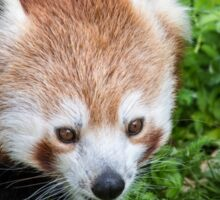 Red Panda close up of face Sticker