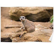 Meerkat on a rock Poster