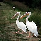 Strolling Pelicans by Madcowontherun