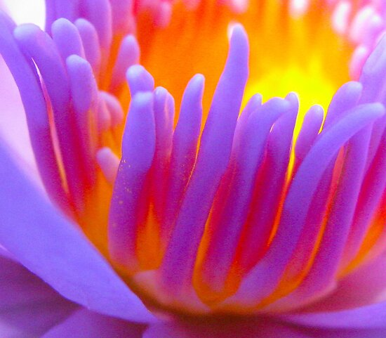 waterlilly close-up by wendy lamb
